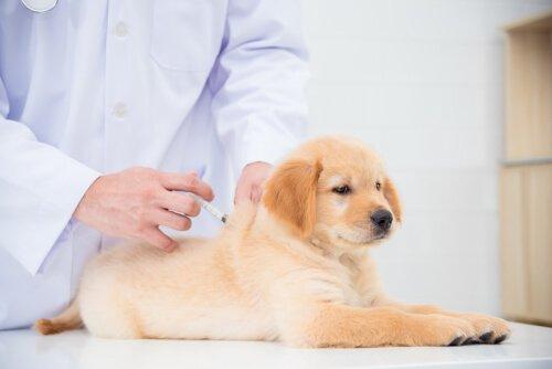 tratamento da cinomose canina