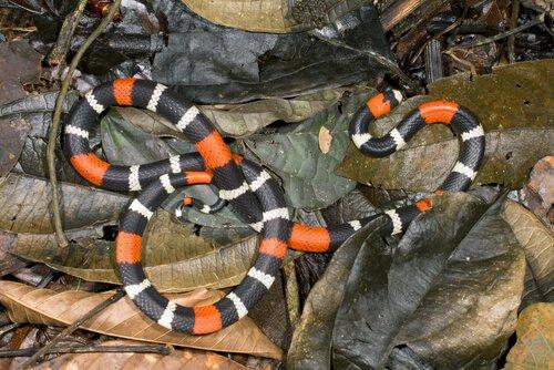 espécies de cobra coral