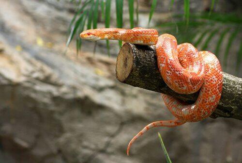 Cobra do milho: características, comportamento e hábitat