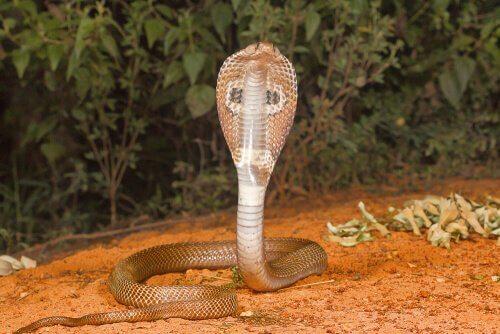 animais na Índia: Naja