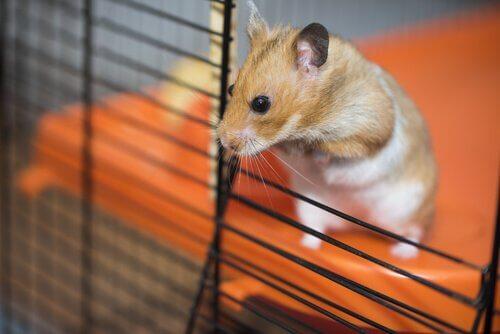 Hamster em gaiola