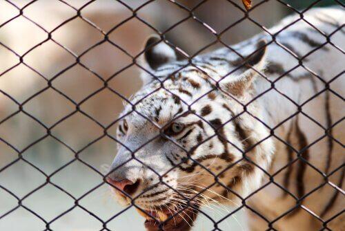 tigre em cativeiro