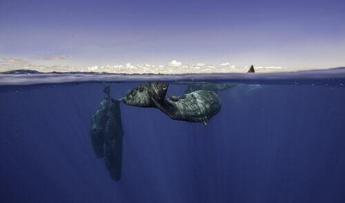 as baleias e outros cetáceos se comunicam