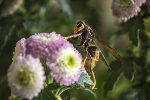 conheça a vespa asiática