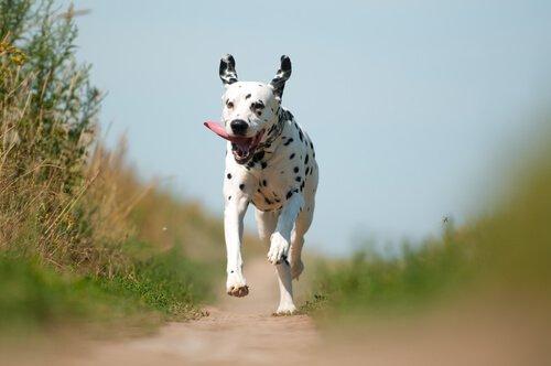 cachorro da raça dálmata