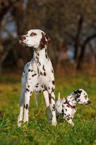 cães dálmata