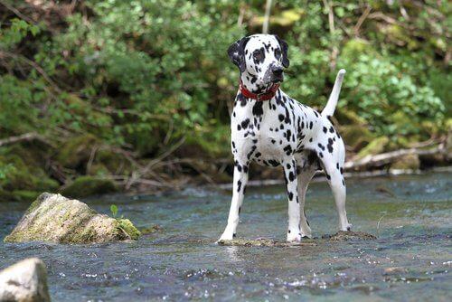 O dálmata: uma das raças de cães mais populares e conhecidas