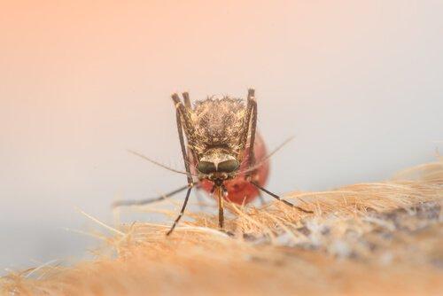 Mosquito transmissor do vírus da Zika