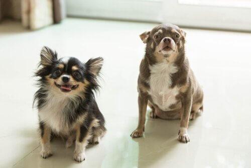 Dois cães em casa: saiba os benefícios