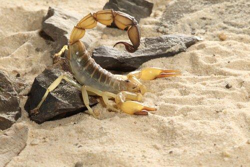 Escorpião-de-cauda-grossa