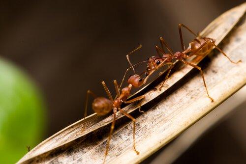 Formigas são uma praga conhecida da agricultura