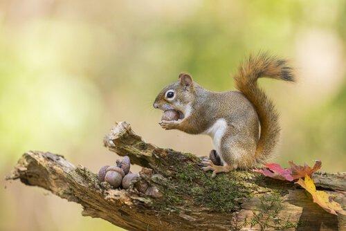 Esquilo como animal de estimação