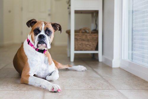 Cachorra de unhas pintadas de rosa