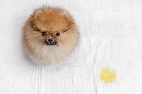 4 passos para evitar que um cão urine na cama