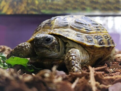 Faça um terrário para sua tartaruga