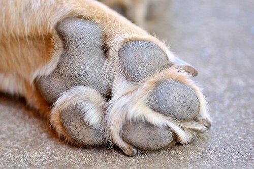 Tratamento das feridas nas almofadinhas dos cães