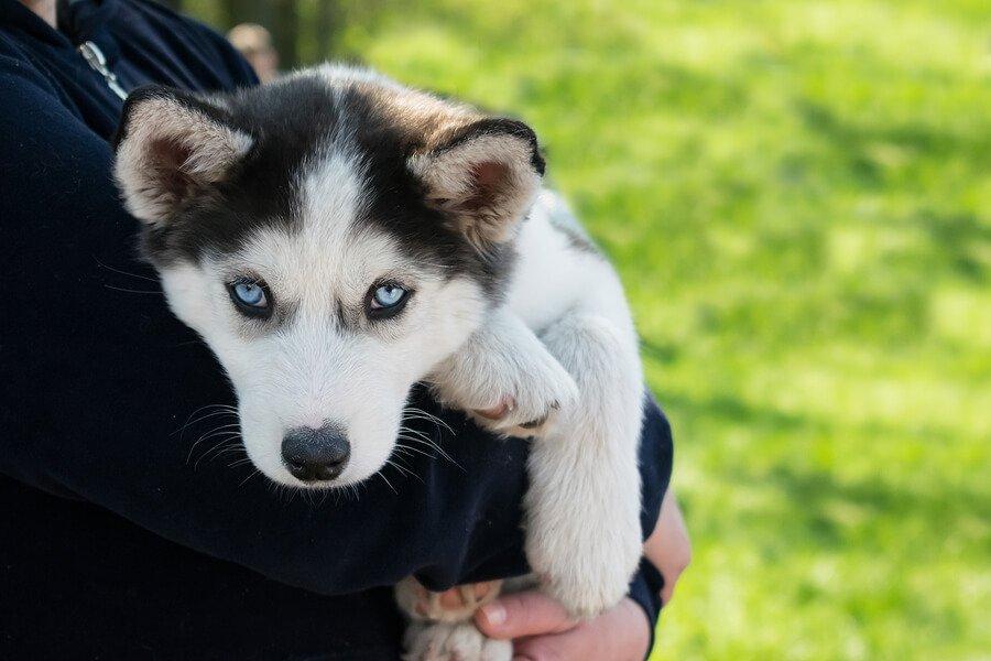 Filhote de husky siberiano no colo
