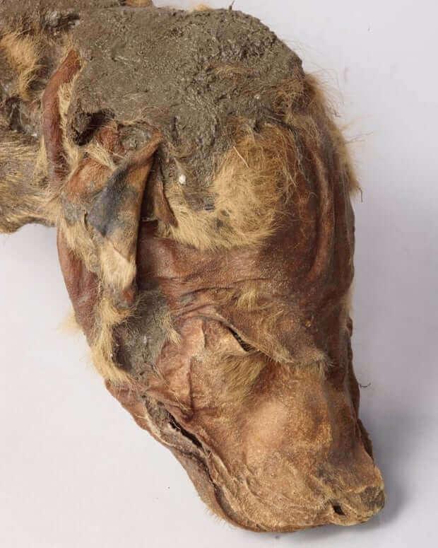 Encontrado no Canadá um filhote de lobo mumificado