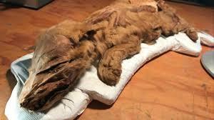 filhote de lobo mumificado