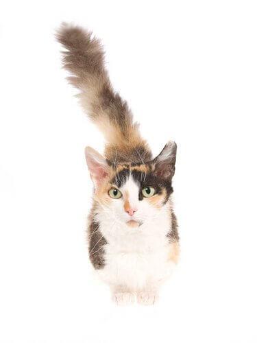 skookum, um pequeno gato cheio de cachos