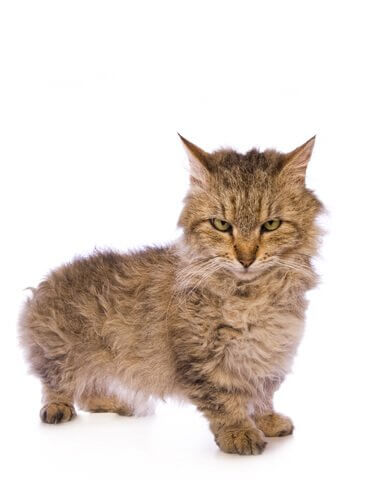 skookum, um lindo gato