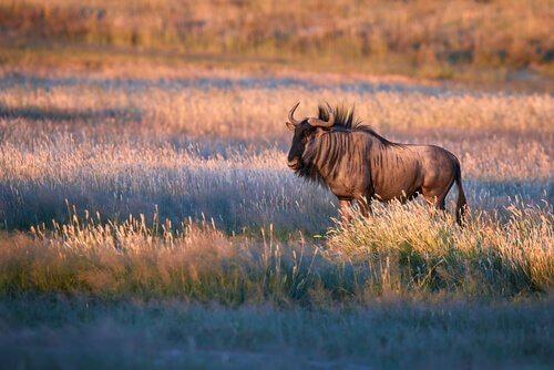 bisões, gnus e búfalos: diferenças
