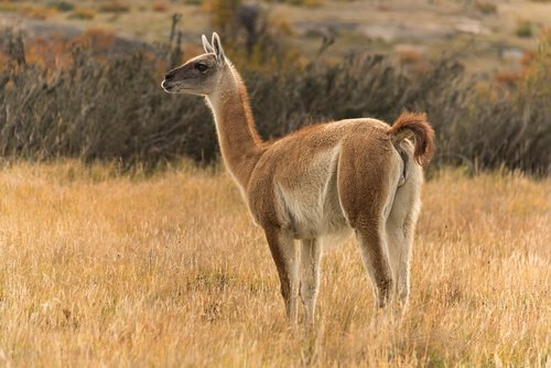conheça a fauna da Argentina: guanaco