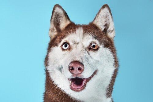 Husky siberiano com heterocromia parcial