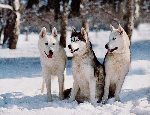 Cães da raça husky siberiano na neve