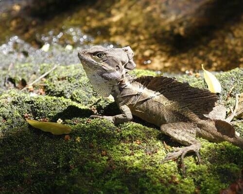 Iguana garrobo