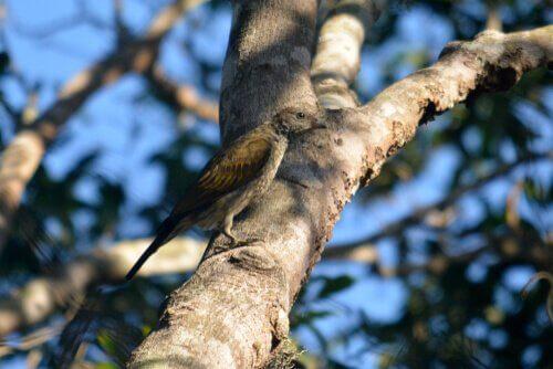 Pássaro indicador indiano