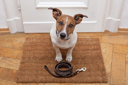 Instruir um cão durante a caminhada diária