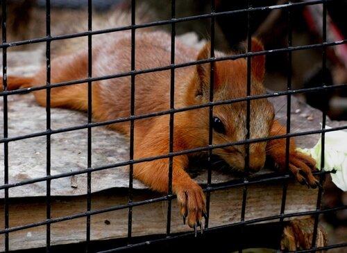 Esquilo em gaiola