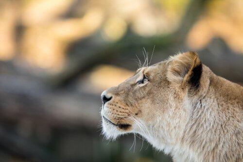 leoa Nala