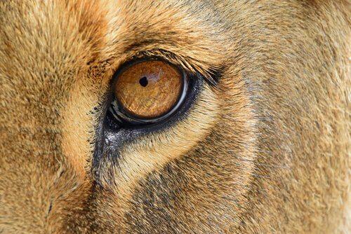 Uma leoa resgatada retorna à África