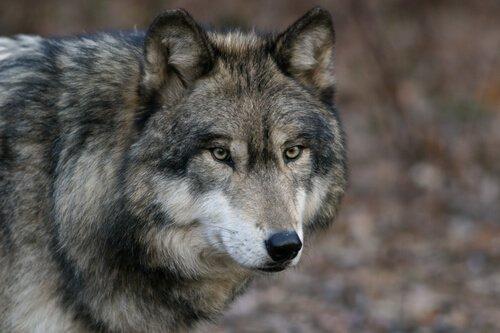 O lobo cinzento: 7 características e comportamento