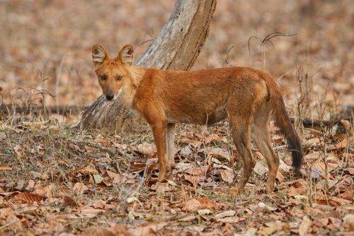 animais da Índia: lobo indiano