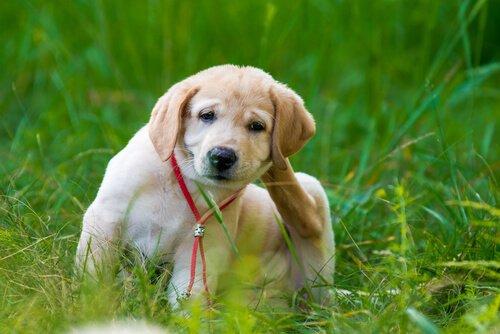 cão com alergia