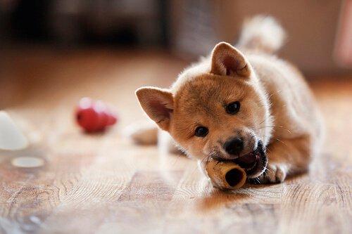 Cachorro roendo osso