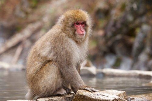 Macaco de cara vermelha: um curioso primata