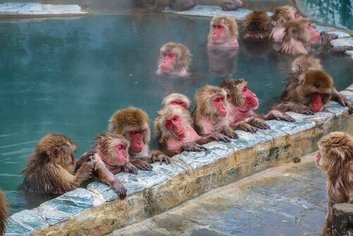 macacos da neve tomam banho em fonte termal
