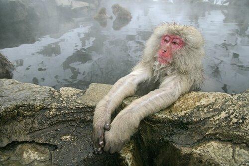macaco-japonês relaxando em fonte termal