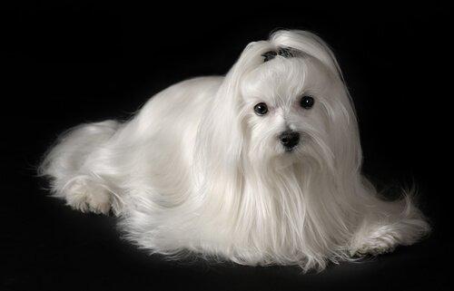 cães que não causam alergia: bichon maltês