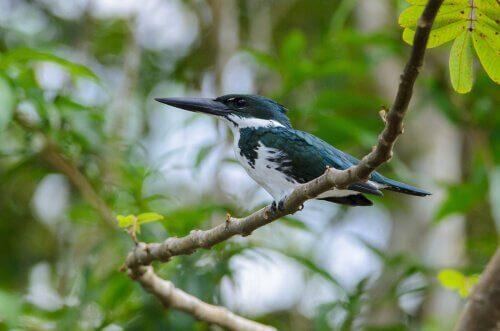 martim-pescador da Amazônia