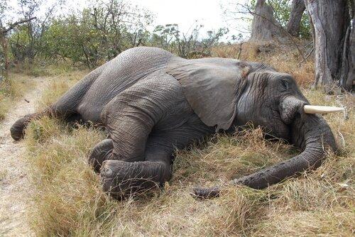 Um massacre de 100 elefantes em Botswana