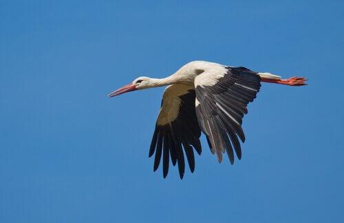 cegonha voando