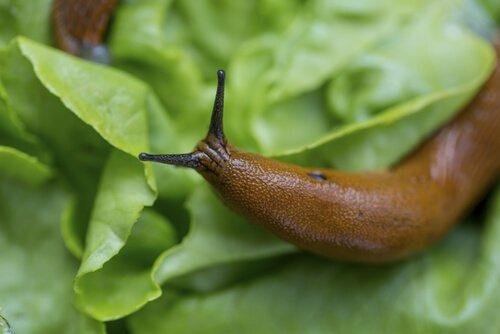 lesma sobre folha de alface