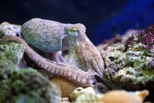 polvo camuflado entre corais