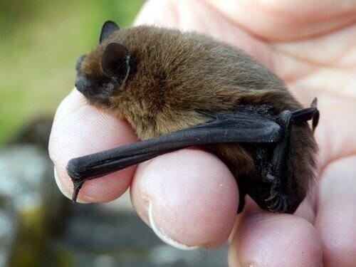 Morcego comum: pequenino