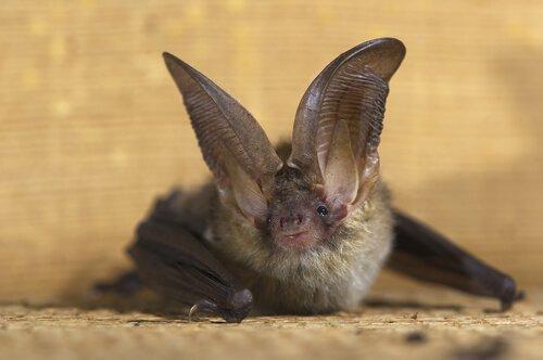Morcego orelhudo